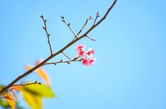 Wilde Himalajakirscheblumen Stockfotografie