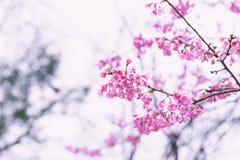 Wilde himalayan kers in roze toon royalty-vrije stock foto's