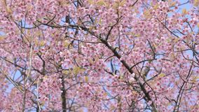 Wilde himalayan kersenbloem en blauwe hemel stock footage