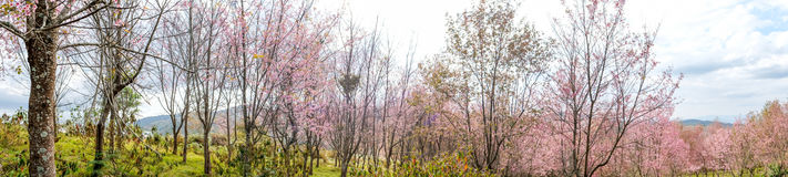 Wilde Himalayan-kersenblossomsprunus die cerasoides in de winter in Phu Lom Lo, Kok Sathon, Dan Sai District, Loei, Thailand bloe Royalty-vrije Stock Afbeeldingen