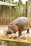 Wilde hippo Stock Fotografie