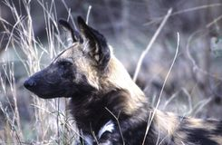Wilde hond royalty-vrije stock afbeelding