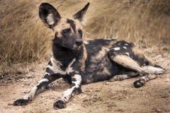 Wilde hond stock afbeelding