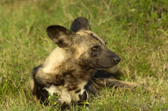 Wilde Hond Royalty-vrije Stock Foto