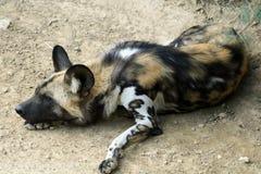 Wilde hond stock foto's