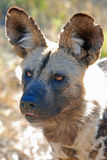 Wilde Hond Royalty-vrije Stock Afbeeldingen