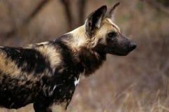 Wilde hond (lycaon pictus) Royalty-vrije Stock Afbeeldingen
