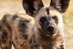 Wilde Hond - Okavango-Delta - Moremi N P Stock Foto's