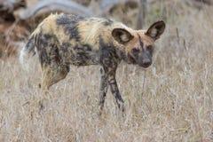 Wilde hond uit op jacht Stock Foto's