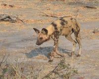 Wilde Hond Vage Bloedvlekken Stock Foto's