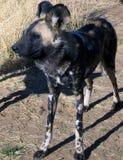 Wilde Honden in Namibië Stock Afbeelding
