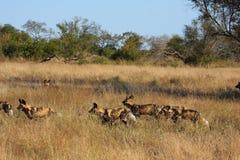 Wilde honden in Soouth Afrika stock foto's