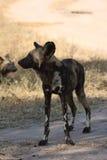 Wilde honden in Soouth Afrika stock afbeelding