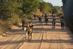 Wilde honden in Zuid-Afrika royalty-vrije stock foto's
