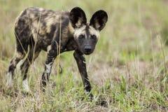 Wilde Honden Zuid-Afrika Stock Afbeelding
