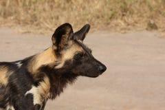 Wilde honden in Zuid-Afrika stock fotografie