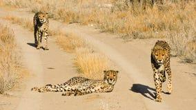 Wilde hongerige jachtluipaarden die op de landweg lopen royalty-vrije stock afbeeldingen