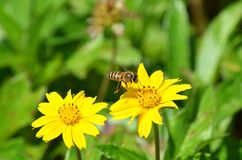 Wilde Honigbiene, die sich vorbereitet, auf einem gelben Wildflower in Thailand zu landen stockbilder