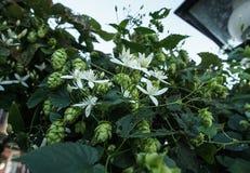 Wilde Hopfenblumen-Blühen stockbilder