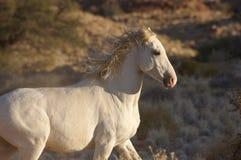 Wilde Horse. A white wilde horse near Klein Aus Vista in Namibia stock image