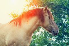Wilde horse. Portrait of wilde horse at sunset Royalty Free Stock Photos