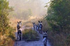 Wilde Hunde Lizenzfreie Stockfotografie