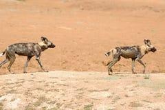 2 wilde Hunde, die auf einen staubigen Hügel in Namibia gehen Stockfoto