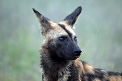 Wilde Hunde (Lycaon Pictus) Lizenzfreies Stockfoto