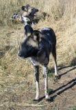 Wilde Hunde in Namibia Stockbild