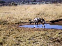 Wilde Hunde in Namibia Lizenzfreie Stockfotografie