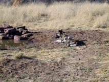 Wilde Hunde in Namibia Stockfotografie