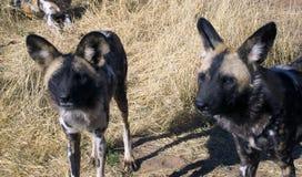 Wilde Hunde in Namibia Stockfotos