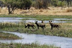 Wilde Hunde Okovango Stockfotografie