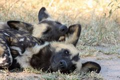 Wilde Hunde in Südafrika Lizenzfreies Stockbild