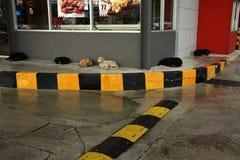 Wilde Hunde Spp canis lizenzfreie stockfotografie