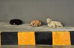Wilde Hunde Spp canis lizenzfreies stockfoto