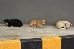 Wilde Hunde Spp canis lizenzfreie stockfotos