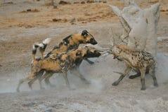 Wilde Hunde und beschmutztes Hyaena Kämpfen Stockfotografie