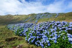 Wilde hydrangea hortensia, het Eiland van de Azoren, Portugal Stock Foto