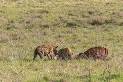 Wilde Hyena's Stock Fotografie