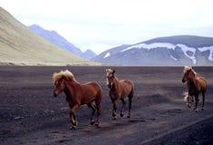 Wilde Iclandic Pferde Lizenzfreies Stockfoto
