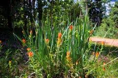 Wilde Indische linariifolia van Castilleja van de Penseelbloem stock fotografie