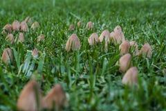 Wilde inktglb paddestoelen die in een tuingazon groeien Royalty-vrije Stock Foto