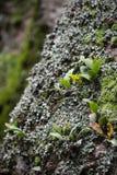 Wilde installatie het groeien op steen in regenwoud stock fotografie