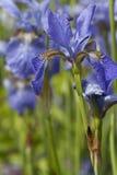 Wilde Iris Royalty-vrije Stock Foto's