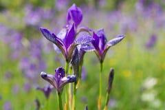 Wilde Iris auf einem Gebiet Lizenzfreie Stockbilder