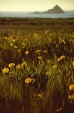 Wilde iris in bloeiende weide bij de kustlijn Stock Foto