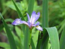 Wilde Iris in de Zomer stock foto's