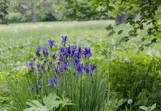 Wilde Iris Flowers royalty-vrije stock afbeelding