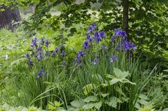Wilde Iris Flowers stock fotografie